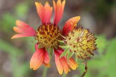 IMG_8396 (Usagi93190) Tags: macro proxi flower plant outdoors nature botanical gardens naples florida