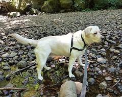 Gracie on the rocks (walneylad) Tags: gracie dog canine pet puppy cute lab labrador labradorretriever july summer afternoon princesspark