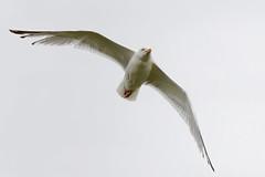 Goéland A7304159_DxO (jackez2010) Tags: ilce7m3 fe100400mmf4556gmoss bif birdinflight goéland