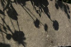 L'ombres des fleurs sur le mur (Lise Tiolu) Tags: ombres fleurs nikon 1v3