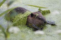 Mine, Mine, All Mine (Photocatvan) Tags: vancouver vancity hingepark urbannature urbanwildlife beaver duckweed