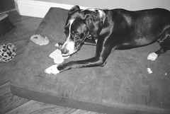 A2e-21Jan2018-HP5Plus-023 (aaron_anderer) Tags: believeinfilm film 35mm bw bn blackandwhite ilford iso400 dog destruction dogbed