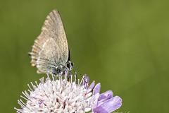 Satyrium esculi (Jaume Bobet) Tags: satyrium esculi lepidoptera lycaenidae mariposa insecto macro bobet canon sigma