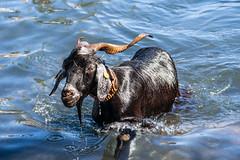 2018-06-24 Ziegenbad in Puerto de la Cruz (04) - Das Ziegenbad (Baño de Cabras) ist eine alte Tradition der Ureinwohner der Kanaren (Guanchen). Es wird jedes Jahr am 24. Juni in Puerto de la Cruz auf Teneriffa veranstaltet. Ziegenherden aus dem Umland wer (mike.bulter) Tags: animal bañodecabras canarias canaries canaryislands esp espana goat hafen kanaren kanarischeinseln puertodelacruz spain spanien tenerife teneriffa tier tradition ziege ziegenbad ziegenbaden baño de las cabras