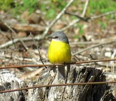 Eopsaltria australis 3 (barryaceae) Tags: copeland tops sca nsw australia ausbird ausbirds eastern yellow robin eopsaltria australis
