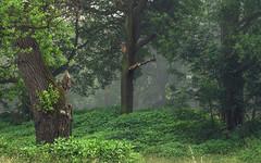 Shades of Green (Netsrak) Tags: baum bäume dunst europa europe landschaft meindorf natur nebel sieg fog haze landscape mist
