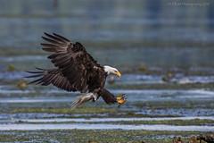 Eagle Landing II (elliott845) Tags: baldeagle eagle raptor haliaeetusleucocephalus predator nature