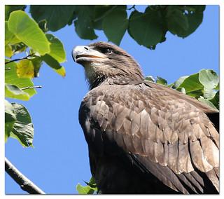 Bald Eagle (Fledgeling)