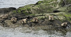 6seals (Tom McPherson) Tags: seals seal sea