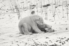 Playing bw (dan487175) Tags: winter winter2017 polarbear bears bear orso blackandwhite paws claws playing pinned strokeing rocks zoo snow coldday cold yourkshire wildlifepark blackeyes blacknose furry wrestling fun cute nikond3300 nikon tamron toes smile toeclaws