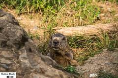 Marmotte (http://pays.basque.coline-buch.fr/) Tags: 64 aquitaine aquitainelimousinpoitoucharentes béarn colinebuch france hautbéarn pyrénéesatlantiques animal campagne montagne nature valléedaspe
