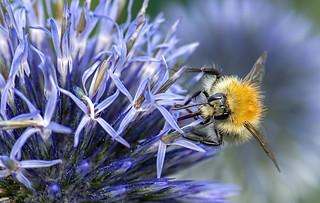 500_5227 Bee