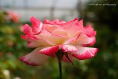 Full bloom...happy macro Monday. (natureflower) Tags: full bloom happy macro monday rose sweet pink