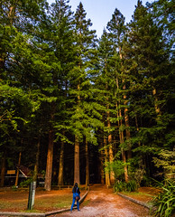 Redwoods (bhrushank1) Tags: redwoods rotorua newzealand trees nature travel landscape