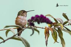 Colibrí de Allen (Selasphorus sasin) (jsnchezyage) Tags: colibrídeallen selasphorussasin ave pájaro bird birding birdwatching ornithology beak feather hummingbird allen´shummingbird colibrí