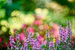Linnaeus Layers (brev99) Tags: tamron70300vc d610 photoshopelements18 dxofilmpack5 bokeh flowers woodwardpark tulsa linnaeusteachinggarden