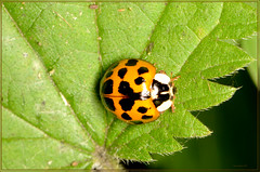 ladybird 16 spot (2) (bobspicturebox) Tags: himalayan balsam lady bird bugs slow worm musk beetle potato capsid shield bug larva snail fungus