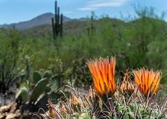 Barrel Cactus Bloom in Saguaro National Park, Tucson, AZ (QuietRain31) Tags: az arizona barrio cacti cactus desert saguaronationalpark southwest tucson ua wildcats ngc natgeo orange bloom monsoon season
