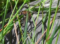 Waldeidechse - common lizard - lacerta vivipara (Sophia-Fatima) Tags: mygarden meingarten naturgarten gardening pond gartenteich wassergarten waldeidechse mooreidechse commonlizard lacertavivipara