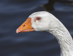Goose (Mike Serigrapher) Tags: etherow park compstall cheshire goose pentax da300mm