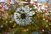 DSC_3234 (griecocathy) Tags: plante pissenlit gouttelette eau lumière feuille vert violine brillance