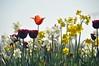 2018-04-21_10-13-30 (pixelarized) Tags: tulp tulip narcis flowers bloemen lente spring
