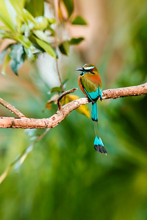 Turquoise -browed Momot - *Explore
