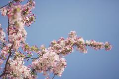 Washington No 1 (• CHRISTIAN •) Tags: washington dc étatsunis unitedstates us usa capital cerisier cherryblossom nature pdc dof 50mm f14