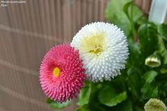 Paquerette (Monde-Auto Passion Photos) Tags: flore paquerette nature plante rose blanc white france naturel duo double