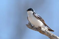 Tree Swallow (JDA-Wildlife) Tags: brilliant birds nikon nikond7100 tamronsp150600mmf563divc jdawildlife johnny portrait closeup eyecontact swallows swallowtree treeswallow whatbirdbestofday