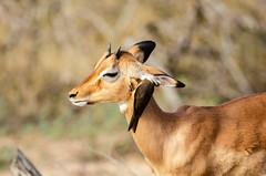 That Feels Good! (C McCann) Tags: impala oxpecker antelope bird avian mammal ear cleaning helpful kruger nationalpark southafrica africa safari wildlife animal animals outdoor