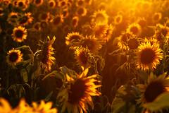 Magic of summer - sunflower (Gruenewiese86) Tags: harz sonnenblumen sonnenblumenfeld sun sonne sunflower sonnenuntergang sonnenlicht sommer spätsommer field feld harzlandschaft landschaft landscape