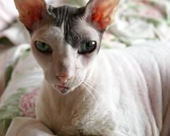 Max III (edenpictures) Tags: max cat cornishrex