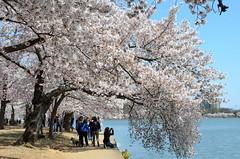DSC_0074 (afagen) Tags: washington dc washingtondc districtofcolumbia tidalbasin cherryblossom sakura blossom