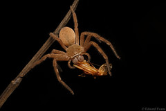 Badge huntsman (Neosparassus sp.) with prey (edward.evans) Tags: cairns far north queensland australia invert arachnid araneae sparassidae spider venom huntsman badgehuntsman neosparassus olios heteropoda