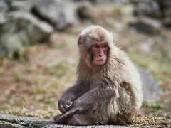 Monkey Portrait (Michael Guthmann) Tags: yudunaka onsen japan nippon monkey omd omdolympus omdmark2 omdrevolution omdtravel omdtravels 45mm 12 45mm12 mzuikodigitaled45mm112 mzuiko microfourthirds portrait