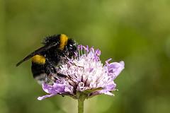 Bombus terrestris (Jaume Bobet) Tags: bombus terrestris hymenoptera apidae insecto abejorro macro bobet canon sigma