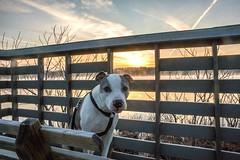Juneau Enjoying the Sunrise (kevincarlvail) Tags: ohio burtonwetlands burton geauga geaugaparkdistrict geaugaparksdistrict geaugacounty sunrise pitbull dog