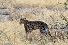 DSC_2593 (Andrew Nakamura) Tags: etosha namibia etoshanationalpark projectdragonfly earthexpeditions mammal bigcat felid leopard africanleopard animal wildlife