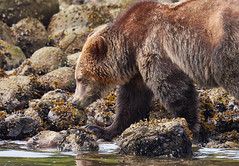 At the Water's Edge DSC_7039Apr 20 20189-46 PM (Stormpeak_1) Tags: grizzlybear glendalecove greatbearrainforest knightinlet britishcolumbia canada vancouverisland telegraphcove tideripgrizzlybeartours bear nature wildlife wilderness nikon nikond7200 nikon80400mm