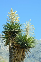 Yucca in West Texas (Diann Bayes) Tags: yucca succulents nature texas