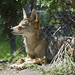 Akron Zoo 06-06-2014 - Coyote 9