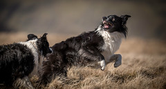 The 'you bite me and then I'll bite you' game (JJFET) Tags: border collie dog playfighting sheepdogs sheepdog littledoglaughedstories