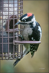 Downy (Maclobster) Tags: downywoodpecker