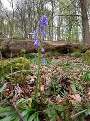 Standing tall v2 (katy1279) Tags: bluebellsspringwoodlandtall
