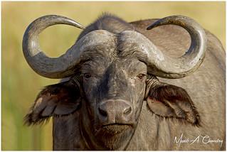 The African Buffalo!