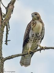 Young Red-tailed Hawk. (Estrada77) Tags: redtailedhawk raptors birdsofprey distinguishedraptors hawk birds birding perched nikon nikond500200500mm d500 jul2018 summer2018 kanecounty wildlife outdoors