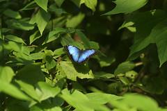Morpho (Michael Döring) Tags: niederlande arnheim burgerszoo mangrove schmetterling butterfly morpho afs105mm14e d850 michaeldöring