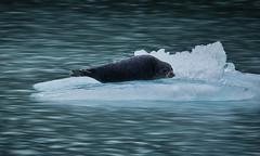 Chilling Seal (debamalya.chatterjee) Tags: animal seal wildlife wildlifephotography nikon nature naturephotography harborseal ice sea