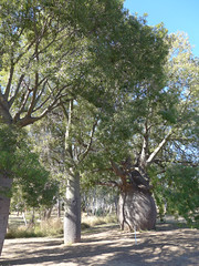 Roma's largest bottle tree (2) (margaretpaul) Tags: roma queensland bottletree